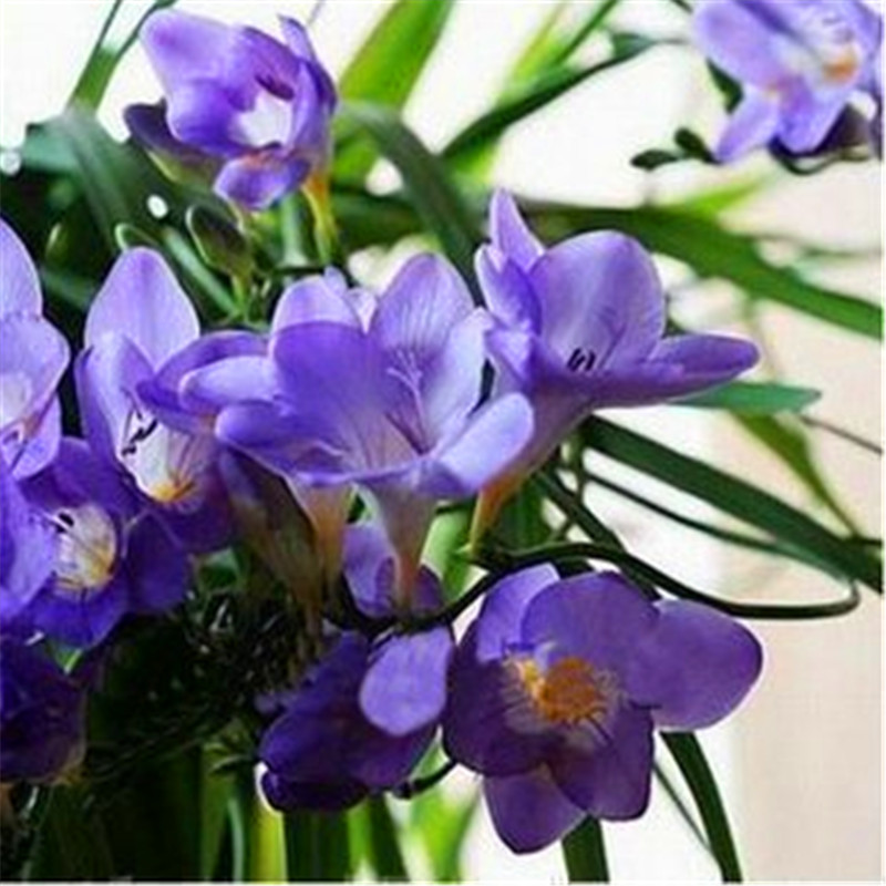 100 seeds  Mix Freesias seeds , gorgeous DIY home garden colorful & fragrant flower plant cut flower ,yard, balcony decoration 1