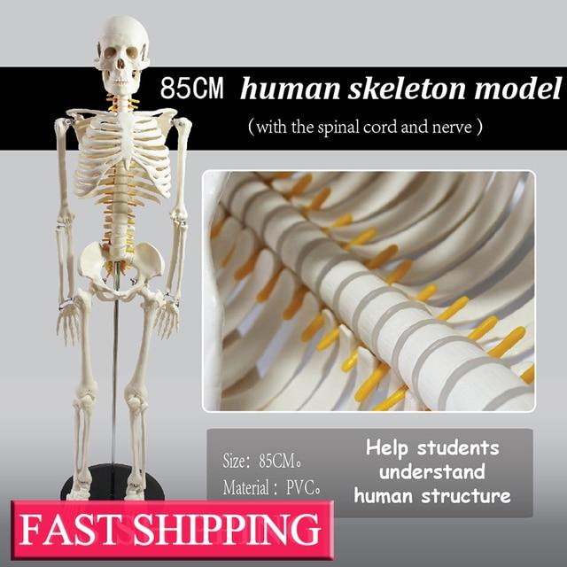 Medizinische lehre liefert biologische 85 cm skeleton modell mit das ...