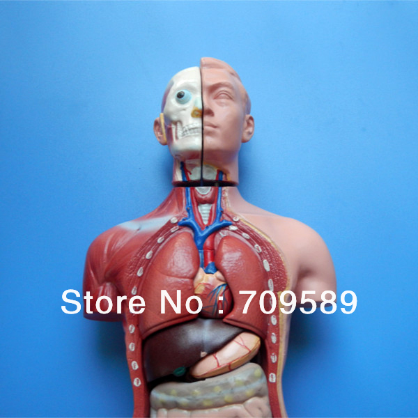 ISO 42CM Human Torso with Internal Organs 13 Parts, Male Torso model 42cm male 13 torso model torso anatomical model of medical biological teaching aids equipment