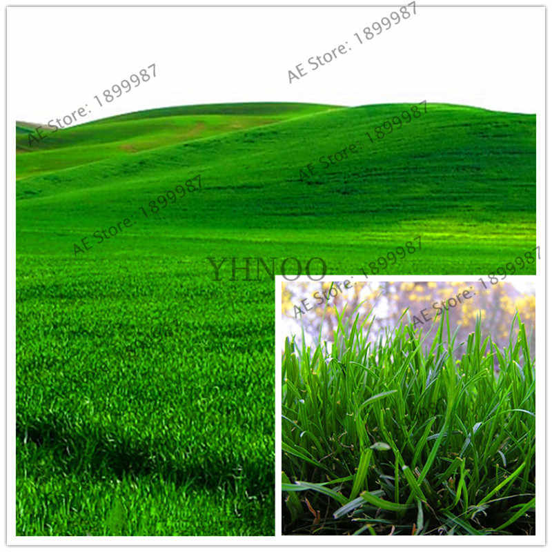 1000 Pcs/pack Green Source Turfgrass Grass Plant Evergreen Lawn Plantas Flower Flores Home Garden Bonsai