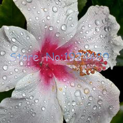 Different kinds of japanese style hibiscus flower diy for Easy plants to grow in pots outside