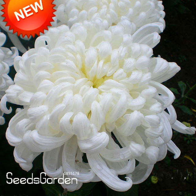 Time limitflower bonsai potted white chrysanthemum flores flower bonsai potted white chrysanthemum flores beautiful potted plants garden 100 mightylinksfo
