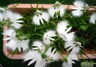 ของโลกที่หายากดอกไม้ญี่ปุ่นR Adiataเมล็ดพันธุ์พืชสำหรับสวนและบ้านปลูกนกพิราบสีขาวเมล็ดกล้วยไม้, 50เมล็ด/ถุง
