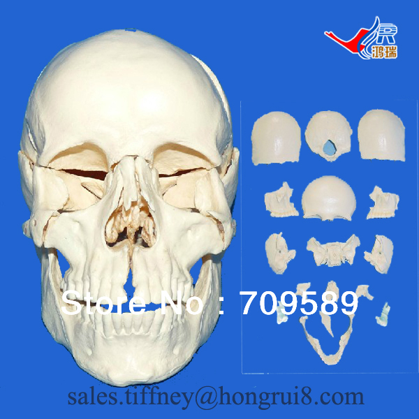 ISO Advanced Scattered bones of skull model, Skull model