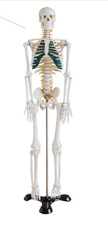 Human skeleton model Skeleton Human skeleton Bone specimens Teaching model85 cm Skeleton model-GASENHN-003 skeleton ivm 0996 c 02