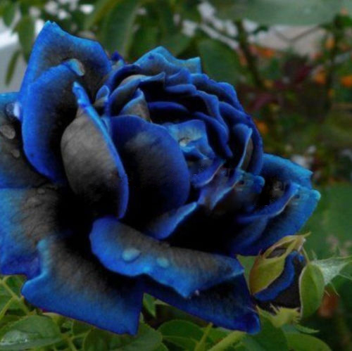 Midnight Rose Highest Seeds Rare Color Blue With Black Rose Seed Ideal DIY  Home Flower Garden
