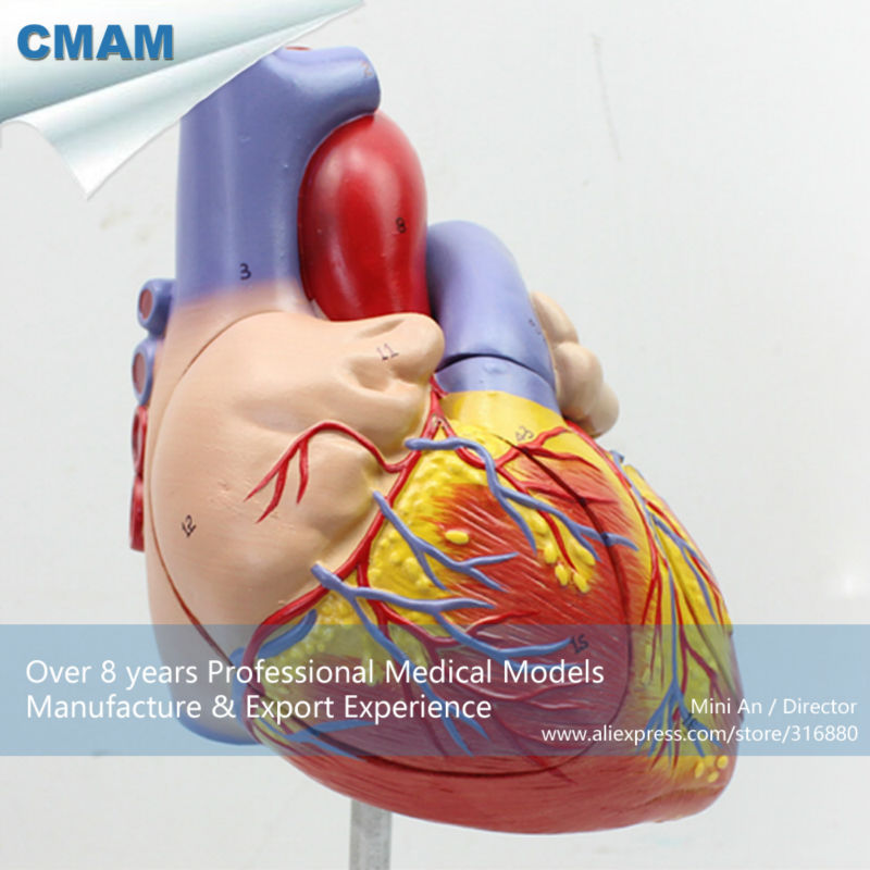 12480 cmam heart04 human heart anatomy model full life size enlarge 12480 cmam heart04 human heart anatomy model full life size enlarge 4 parts anatomy models heart models in medical science from office school ccuart Image collections