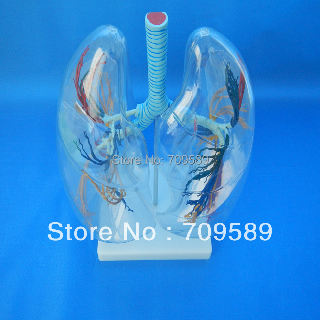 цена HOT SALES New Human Anatomical Medical Transparent Lung Segment Model