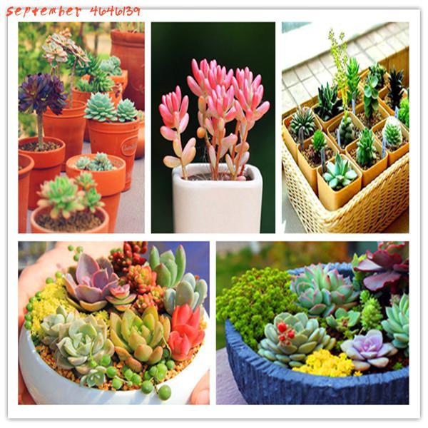 10000 Pcs/ Bag Exotic Mini Succulent Cactus Rare Succulent Perennial Herb Plants Bonsai Pot Flower Indoor Office Bonsai Plants