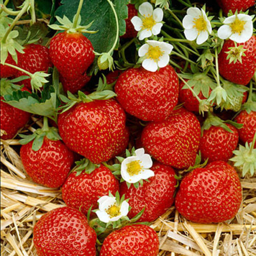 Everbearing Strawberry 600 Seeds Rich Aroma Sweet Smell and Taste