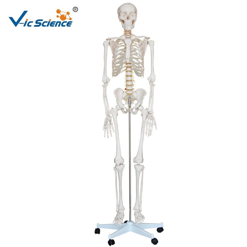 Vie Szie 180 cm médical humain en plastique squelette modèle médical Science enseignement pour les étudiants