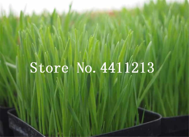 Hot Sale 200 pcs Cat Grass bonsai Rare And Nutritional Foliage Plants Wheat bonsai Indoor Garden Diy Bonsai Plant For Pet