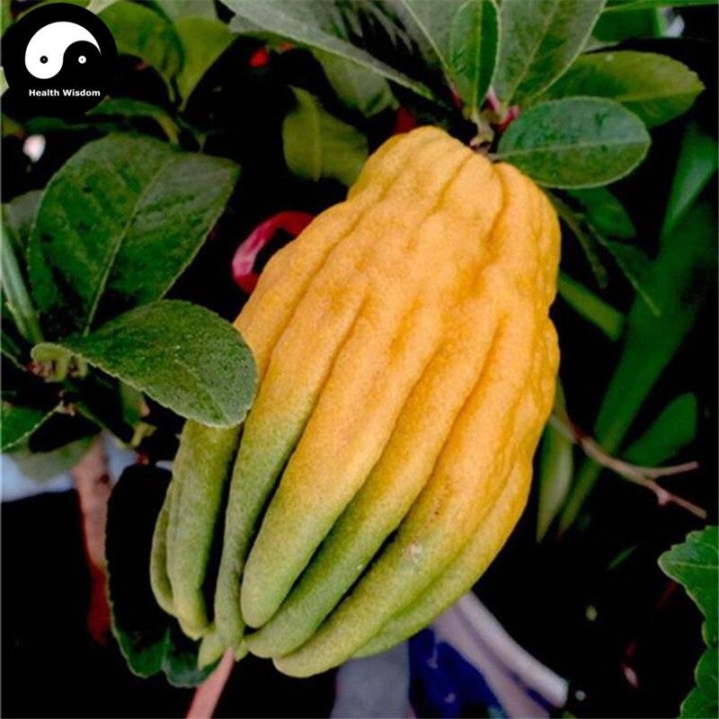Acheter Citrus Medica Sarcodactylis Arbre Graines 30 pcs Plante Citron Arbre De Bergamote