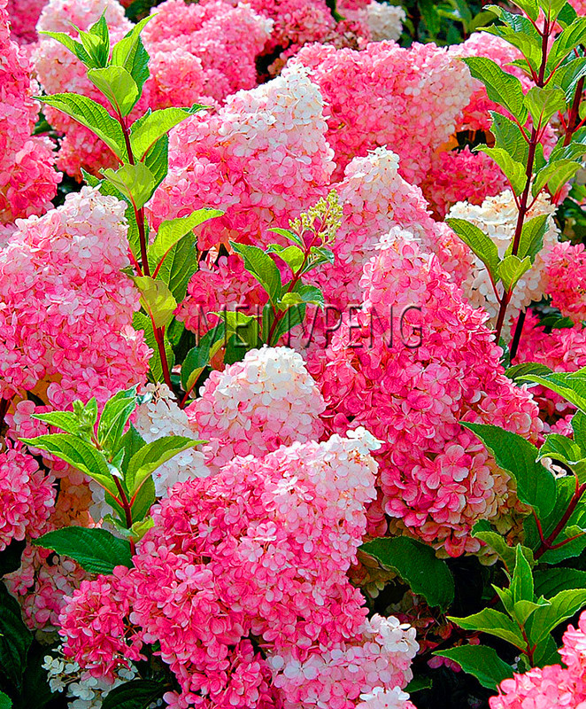 Big Promotion!20Pcs Vanilla Strawberry hydrangea Flower Seeds for home planting perennial outdoor indoor bonsai etc easy to grow