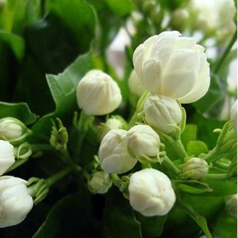 Jasmine Flowers Flower