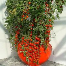 A Pack 100 seeds Bonsai Tomato seeds Mini Cherry Potted Sweet Fruit Vegetable Organic Fresh