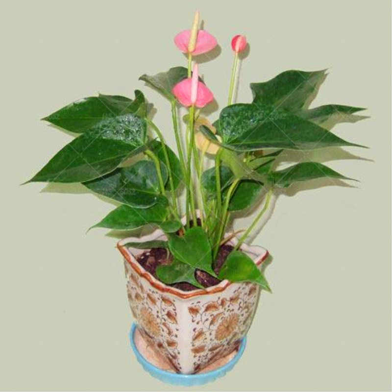 100pcs Bonsai Anthurium Anthurium andraeanum Linden Araceae perennial  indoor evergreen herb flower for home garden