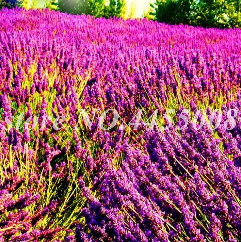 200 pçs/saco Francês Provence Lavanda Perfumado Orgânica Plantas Para Casa Jardim Flor Plantadores de Vaso de Bonsai Vasos de Flore Fácil Crescer