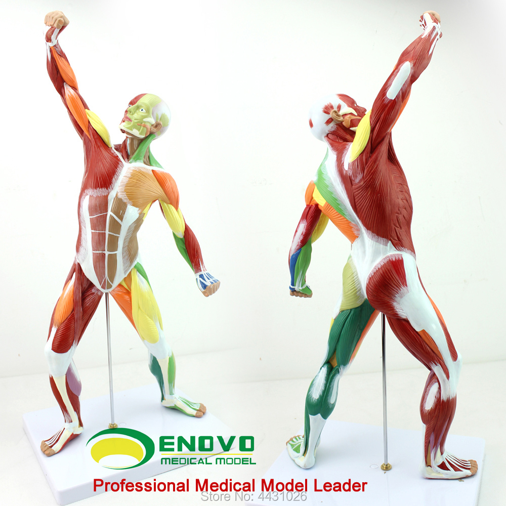 ENOVO Medical art human body muscle model movement muscle anatomy system fitness teaching herbal muscle