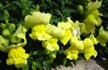 Yellow common snapdragon flower seeds 100pcs/bag for Garden Home Bonsai Planting