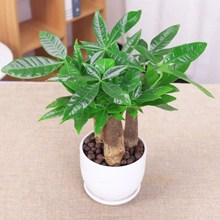 Real Pachira macrocarpa Bonsai money tree; Pachira aquatica for Home office decoration potted plants easy to grow indoor plants