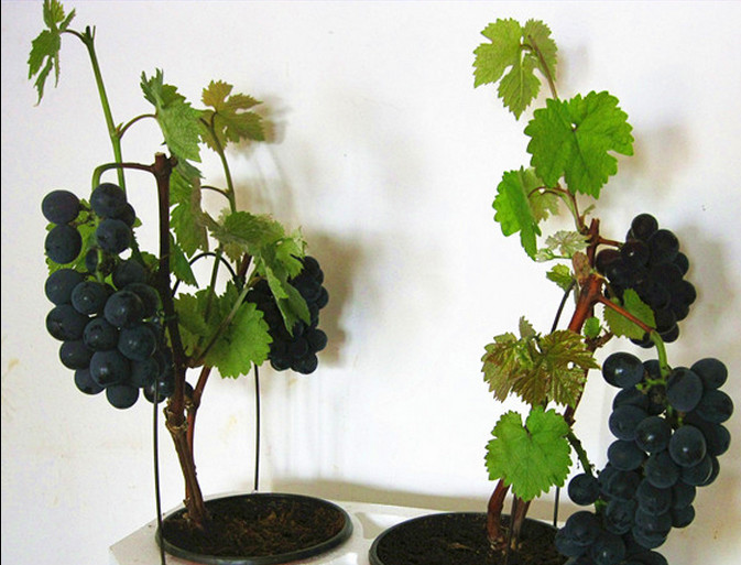 Fruit Bonsai seeds 50 VERY RARE Japanese Dwarf Kyoho (Vitis labrusca) Deep Purple Table Grape SEEDS! ...