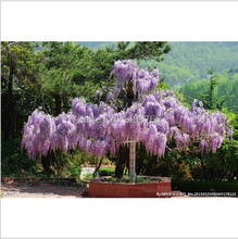 50pcs seeds/bag creepers Wisteria seeds Crawling plants seeds Bonsai plants Seeds for home & garden 49%