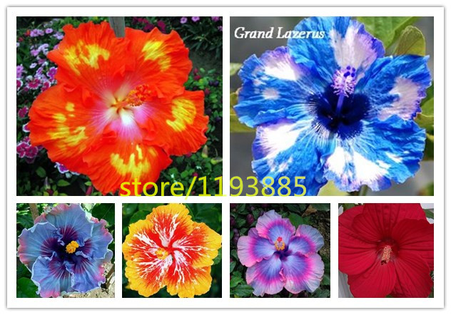 100pcs/bag Dinnerplate Hibiscus/ Red Hot/ Perennial Flower Seed/ Easy to Grow  sc 1 st  AliExpress.com & 100pcs/bag Dinnerplate Hibiscus/ Red Hot/ Perennial Flower Seed ...