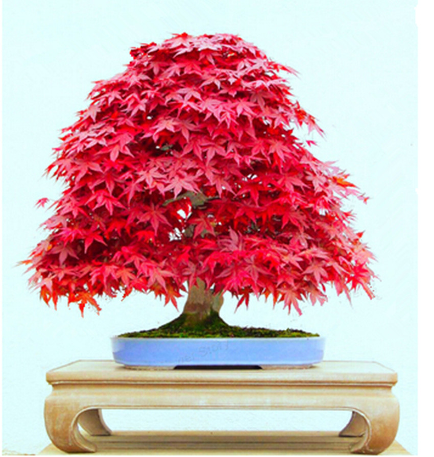 50 Seeds Japanese Maple Bonsai Red Maple Tree Gorgeous 100% Real Seeds DIY Home Garden