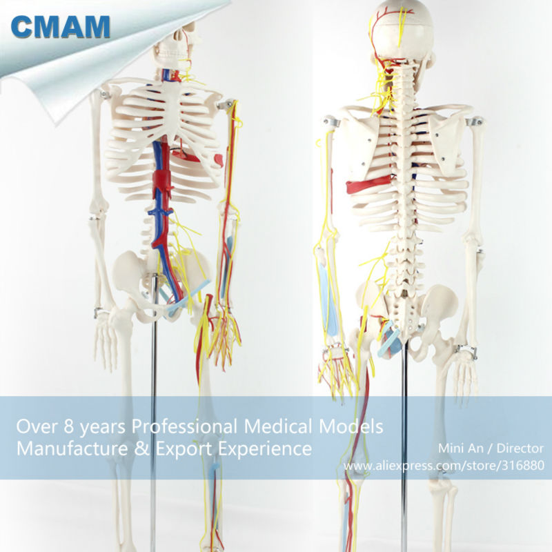 12367 CMAM-SKELETON07 85cm Skeleton with Nerves Blood Vessels for School Education culturally responsive pre school education