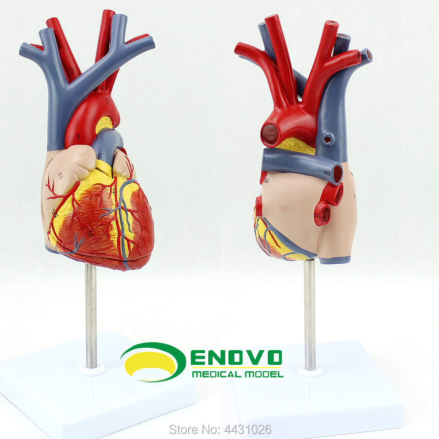ENOVO Human heart model medical cardiology cardiac interventional anatomy teaching coronary arteryENOVO Human heart model medical cardiology cardiac interventional anatomy teaching coronary artery