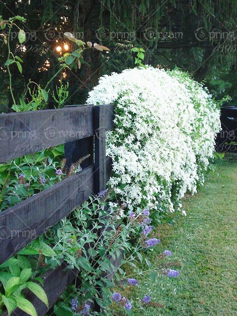 50pcsbag Rare Climbing Jasmine Flower White Jasmine Bonsai Fragrant