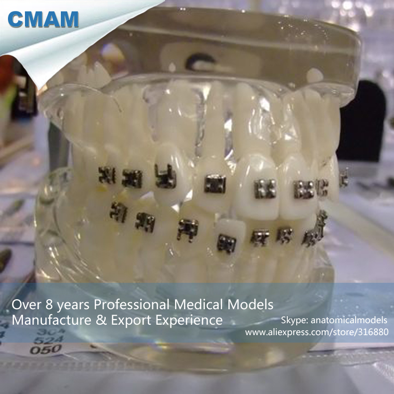 12601 CMAM-DENTAL19 Life Size 1:1 Human Dental Model Orthodontic Demonstration 12384 cmam vertebra01 human lumbar vertebrae w sacrum