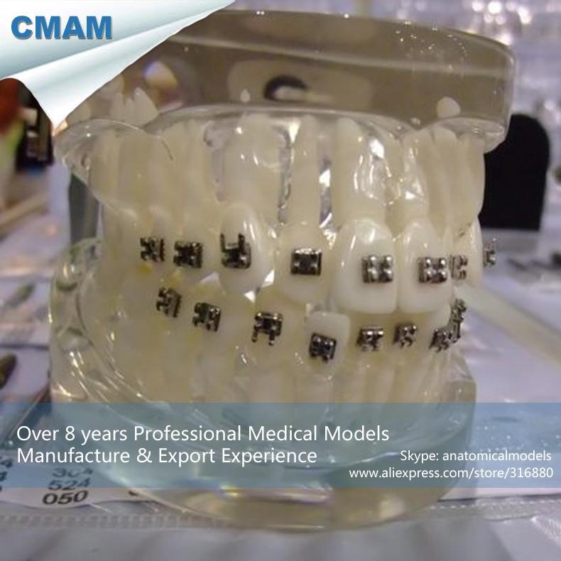 12601 CMAM-DENTAL19 Life Size 1:1 Human Dental Model Orthodontic Demonstration plastic standing human skeleton life size for horror hunted house halloween decoration