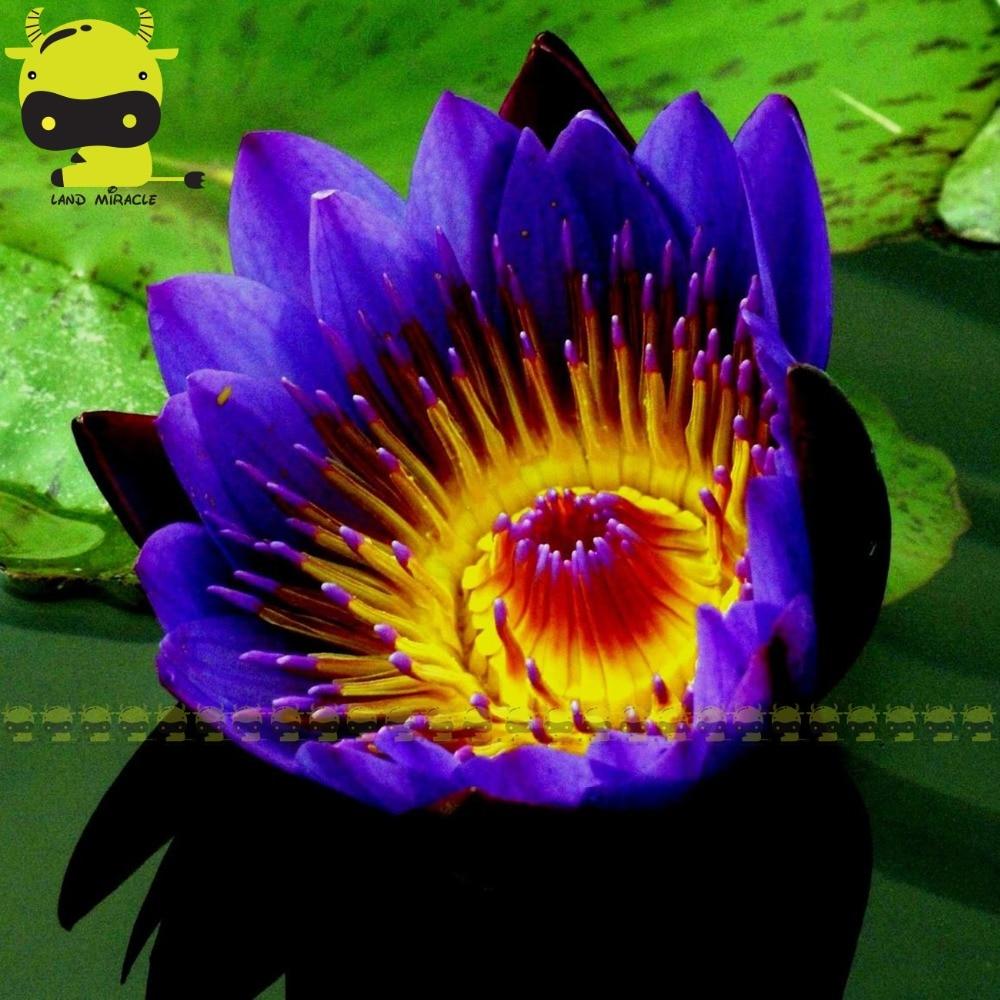 Indian Dark Blue Water Lily Seed 1 Seedspack Mix Color Lotus