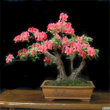 Bonsai Azalea Seeds 200pcs multi Colour