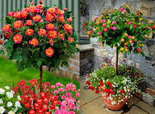 100pcs/bag rose tree rose seeds bonsai flower seeds tree seeds Chinese roses mix colors give lover plant for home garden