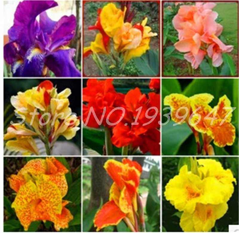 100 Pcs Colorful Canna Lily Bonsai DIY Potted Plants Indoor Outdoor Bloom Germination Rate Of 95% Mixed Colors Garden Flowers