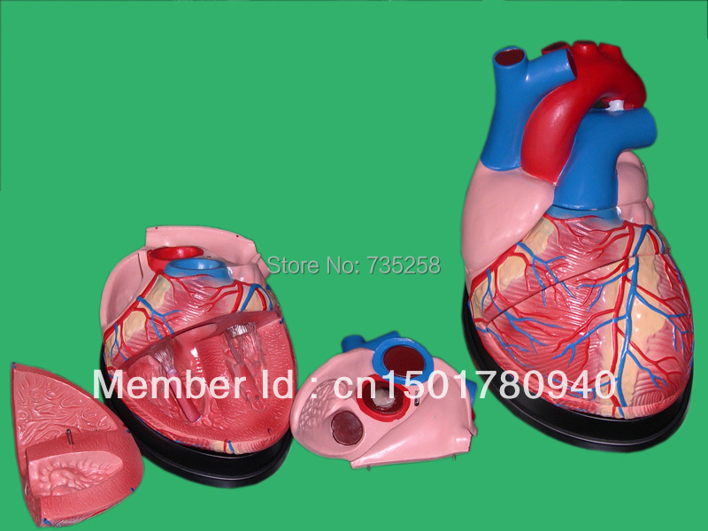 Human Heart Model,Heart Amplification Model,Heart anatomy Model mini human uterus assembly model assembled human anatomy model gift for children