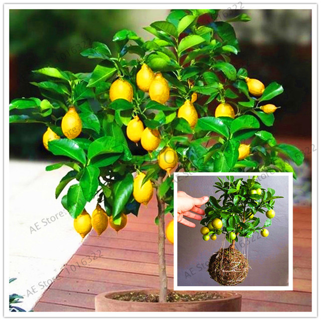 20pcs/bag Lemon tree Seeds Bonsai fruit tree seeds. organic yellow ...