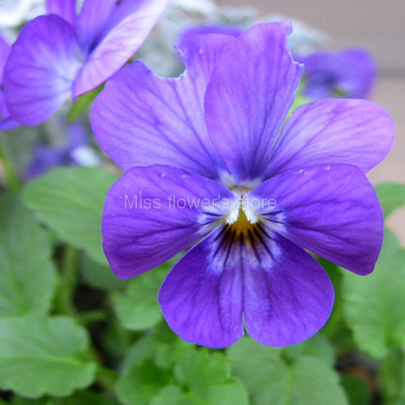 5 pack 150 seed small blue flower pansy seeds viola tricolor flower herb perennial often annual and biennial plantblossom early and long flowering period15cm hightflowers small but dense flowers uprightblue colour mightylinksfo