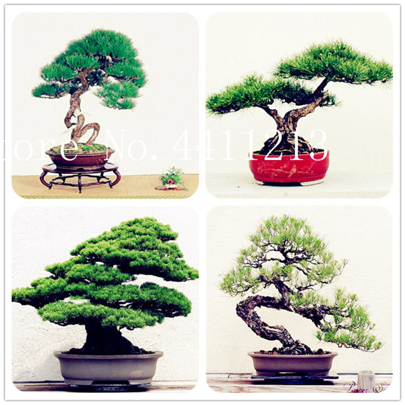 10 Pcs Japanese Black Pine Plant Bonsai Tree Plant Garden Interior Decoration Evergreen,ornamental Strong Perennial Garden Plant