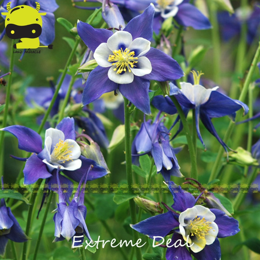 Swan single blue white columbine flower seeds 50 seedspack swan single blue white columbine flower seeds 50 seedspack aquilegia herbs bonsai for garden planting in bonsai from home garden on aliexpress izmirmasajfo