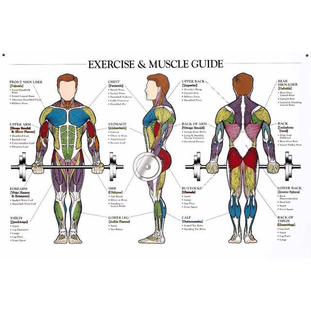 J1000 Muskulatur Anatomie Diagramm Pop 14x21 24x36 Zoll Silk Kunst ...
