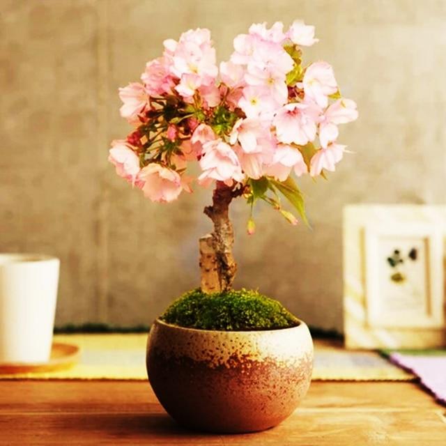 Бонсай японская сакура выращивание из семян 617