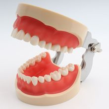 Dental Model nauczania Standard Dental Typodont demonstracja modelu z zdejmowane zęby 200 H(China)