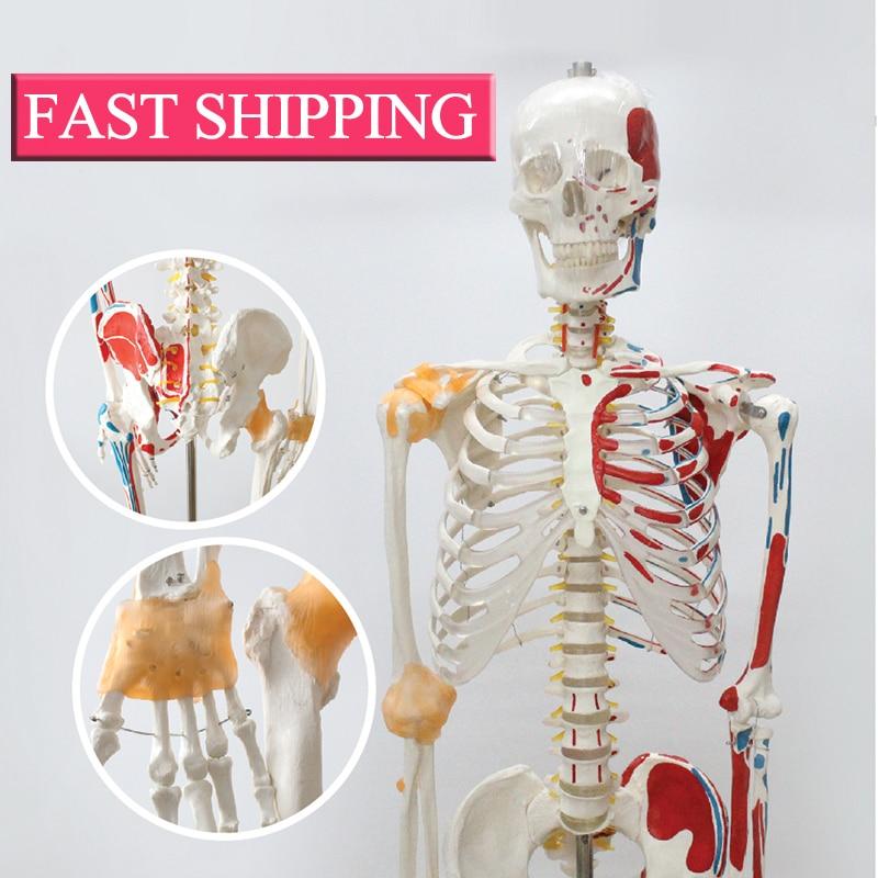 Professional recommendations Life Size Human Anatomical  Skeleton Medical Model iso high quality human skeleton model life size medical 180cm human skeleton