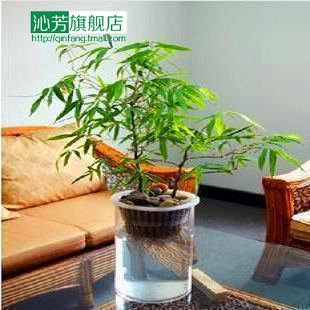 Flower Bonsai Indoor Foliage Plant Hydroponic Bambusa Bamboo Buddha Rohan