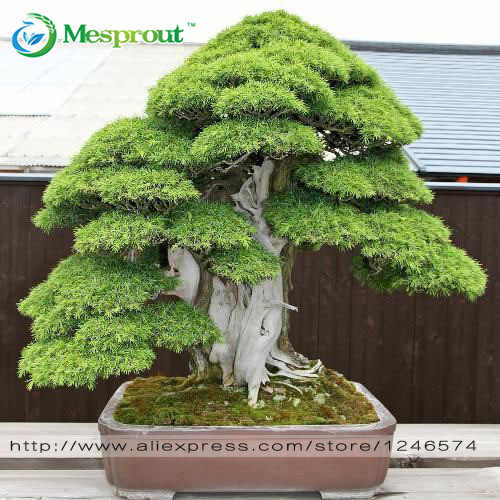 Bonsai 30 Pcs Japanese Red Cedar-Cryptomeria Japonica-Bonsai Pohon Evergreen Bonsai Rumah Berkebun Gratis Pengiriman Bonsai