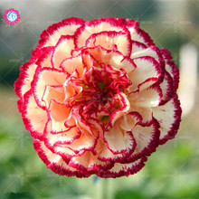 New arrival!!!100 pcs/bag Carnation seeds plant Dianthus Grove potted home&garden courtyard 95% survive bonsai flower tree